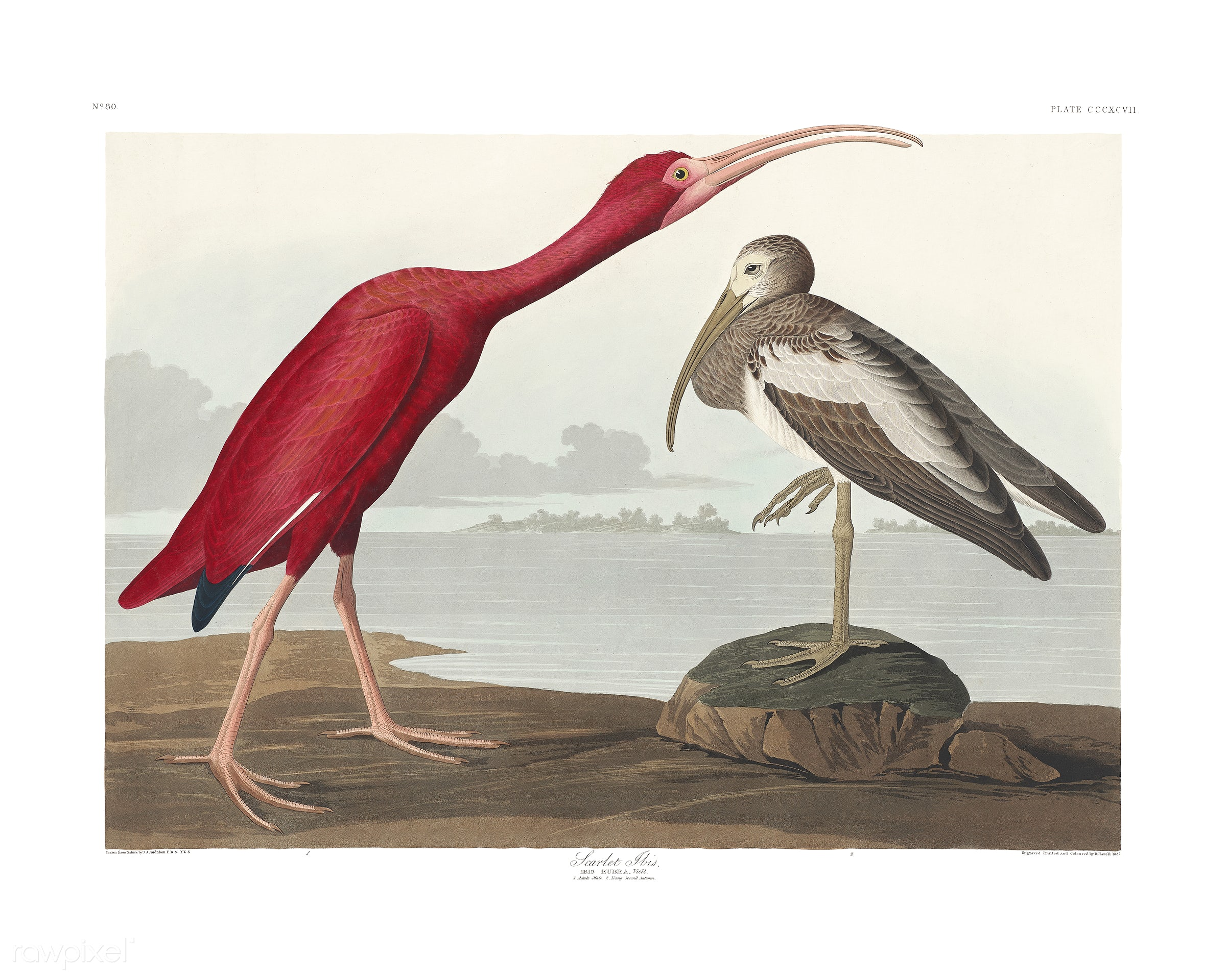 Scarlet Ibis from Birds of America (1827) illustrated by John James Audubon (1785 - 1851), etched by Robert Havell (1793 -...