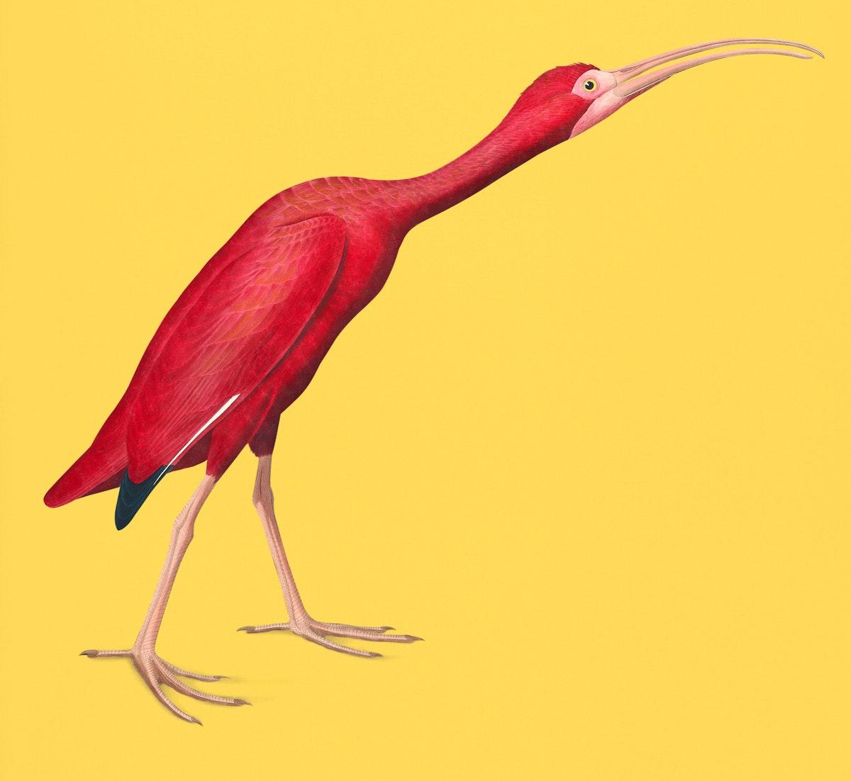 Vintage Illustration of Scarlet Ibis from Birds of America.