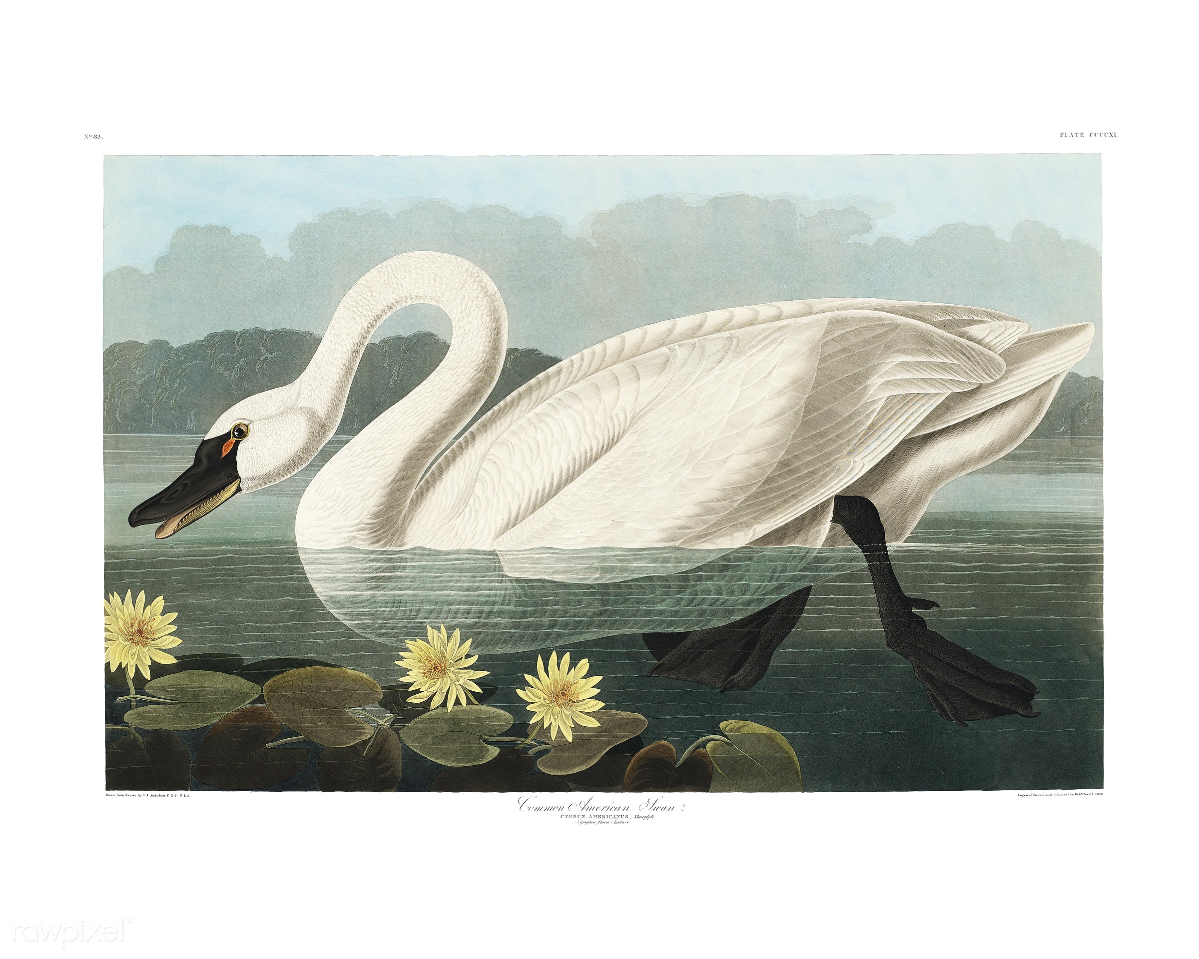 Common American Swan from Birds of America (1827) illustrated by John James Audubon (1785 - 1851), etched by Robert Havell (...