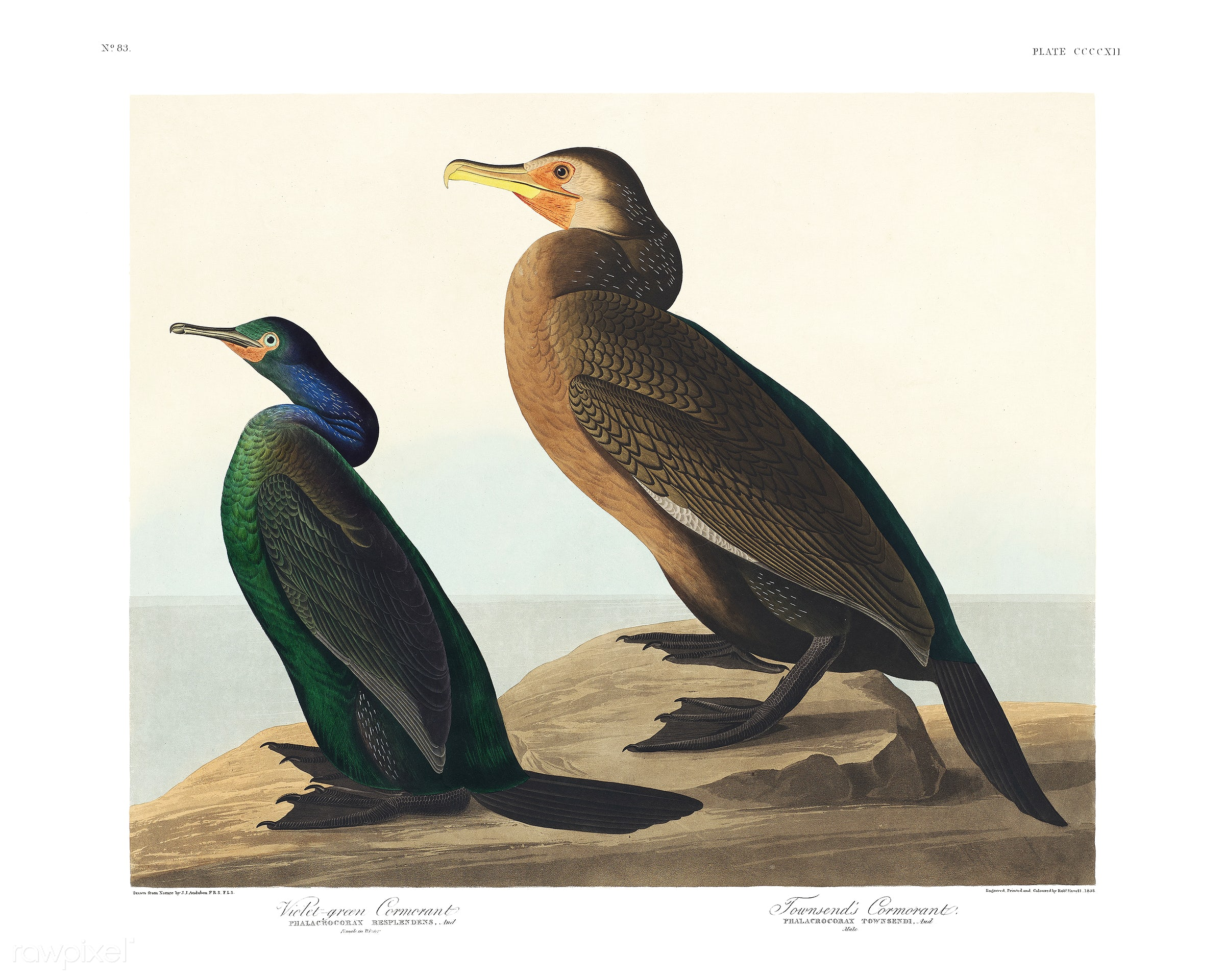Violet-green Cormorant and Townsend's Cormorant from Birds of America (1827) illustrated by John James Audubon (1785 -...