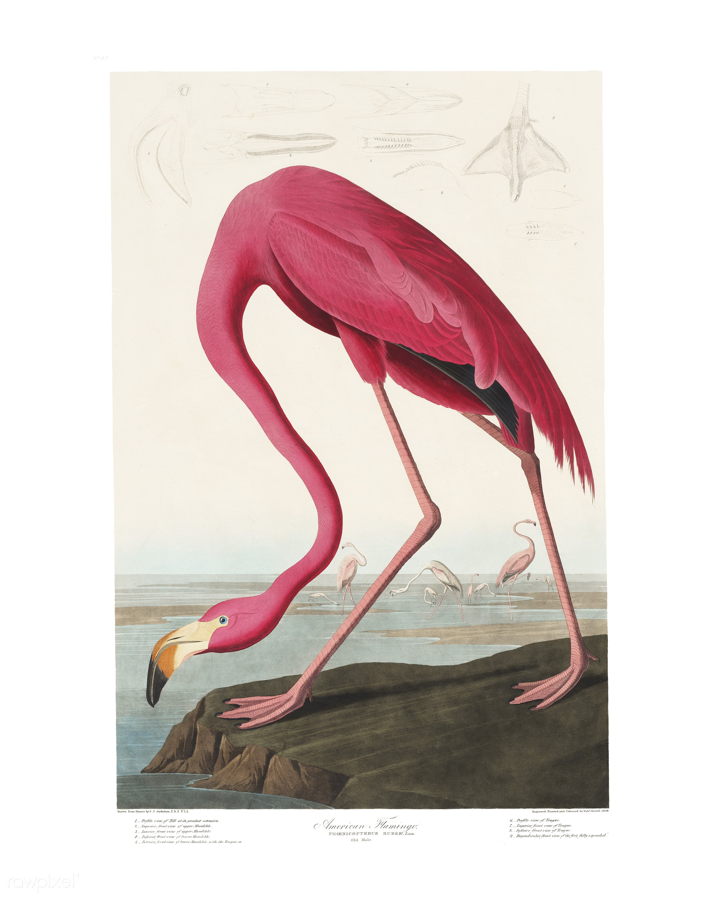 Pink Flamingo from Birds of America (1827) illustrated by John James Audubon (1785 - 1851), etched by Robert Havell (1793 -...