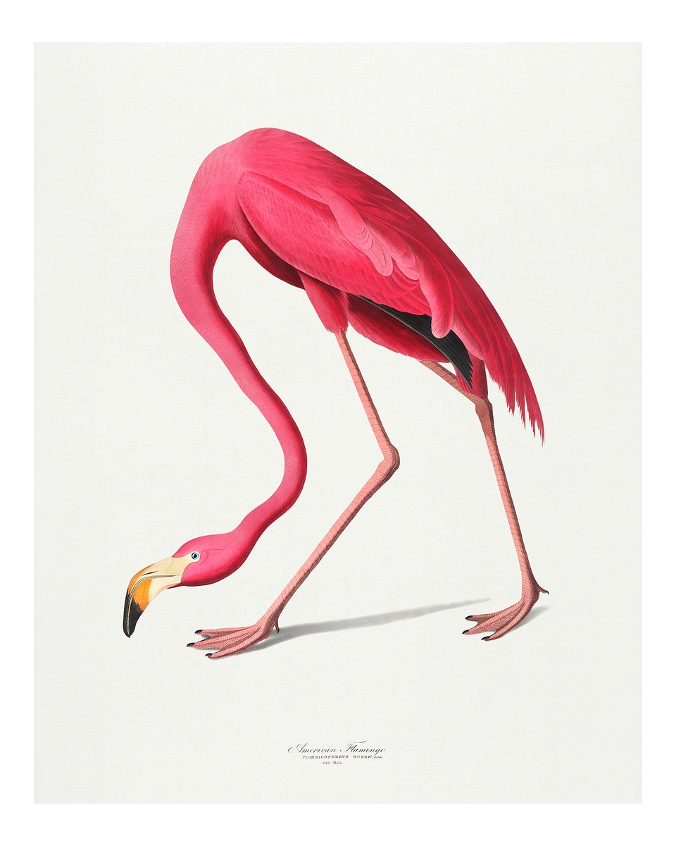 Vintage Pink Flamingo illustration wall art print and poster.