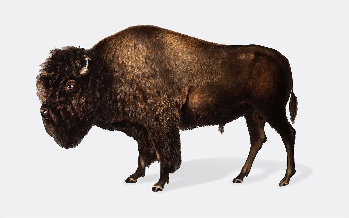 American Bison illustration