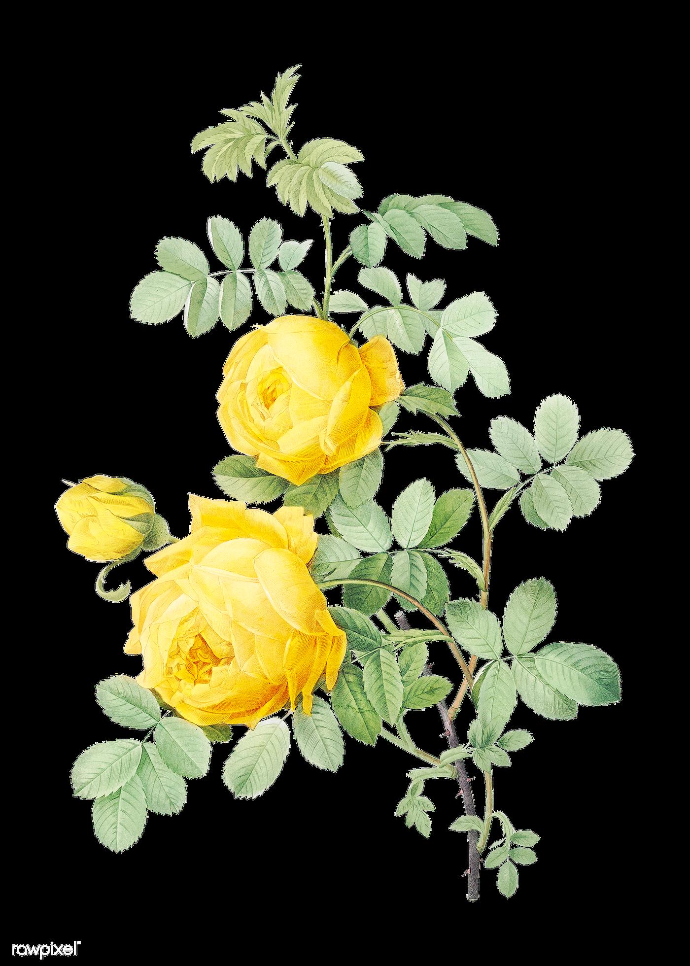 Vintage Sulphur rose drawing | Free transparent png - 574515