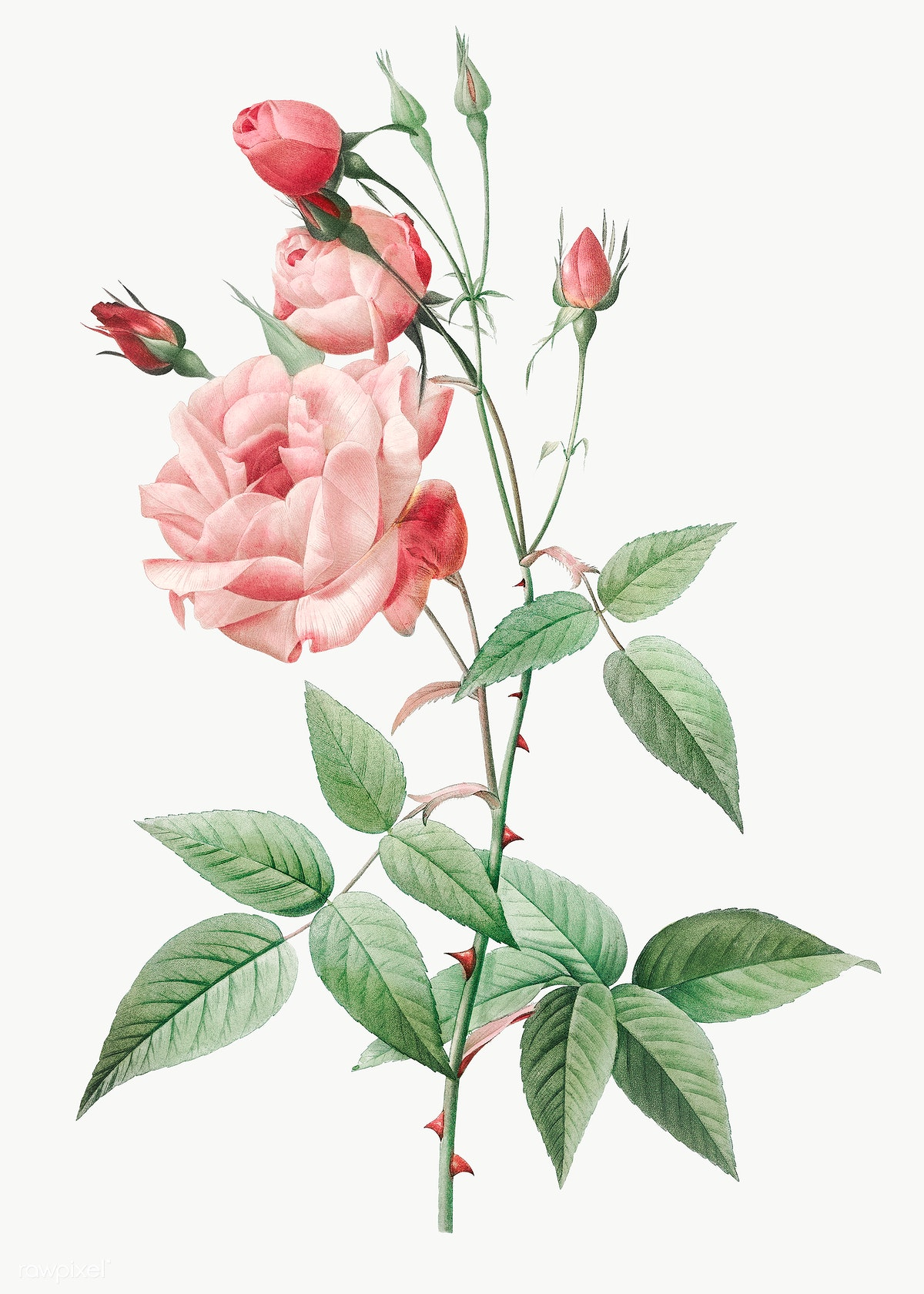 Vintage Pink Rose Drawing Free Transparent Png 574098