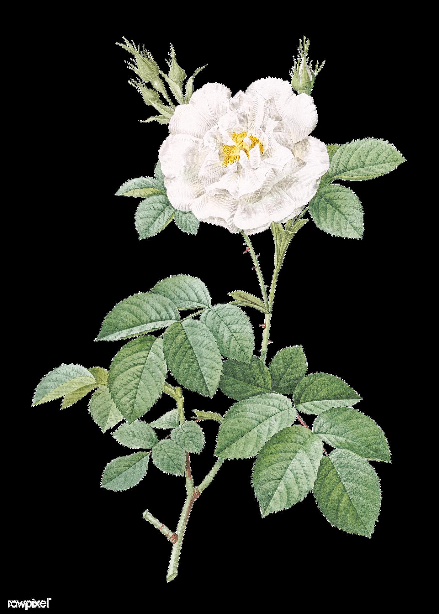 Blooming white rose   Free transparent png - 574244