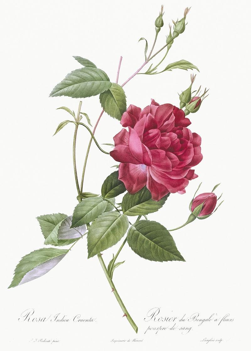 Les Roses Pierre Joseph Redouté Free Cc0 Roses Illustrations
