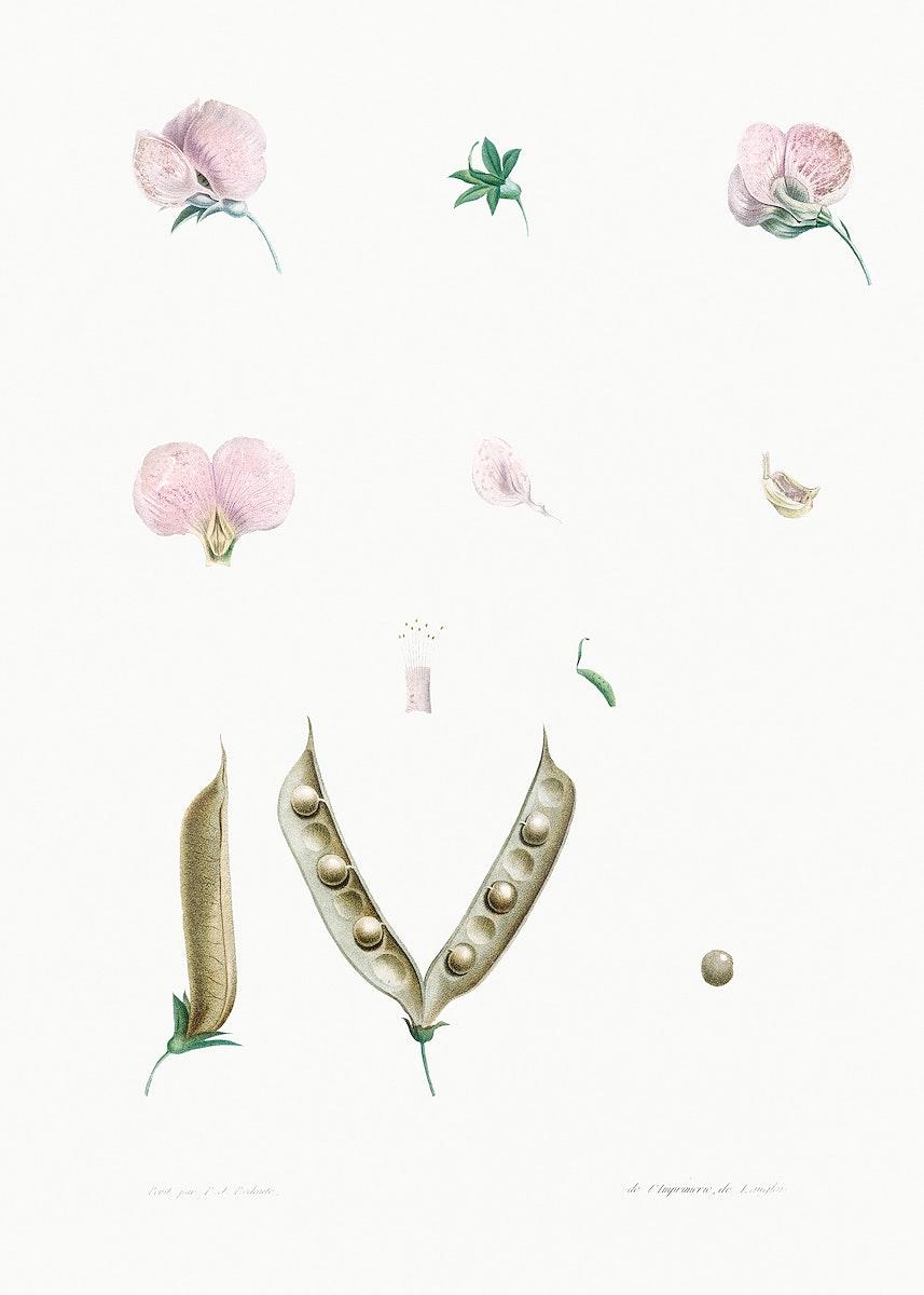 Butterfly pea flower parts from La Botanique de J. J. Rousseau by Pierre-Joseph Redouté (1759–1840). Original…