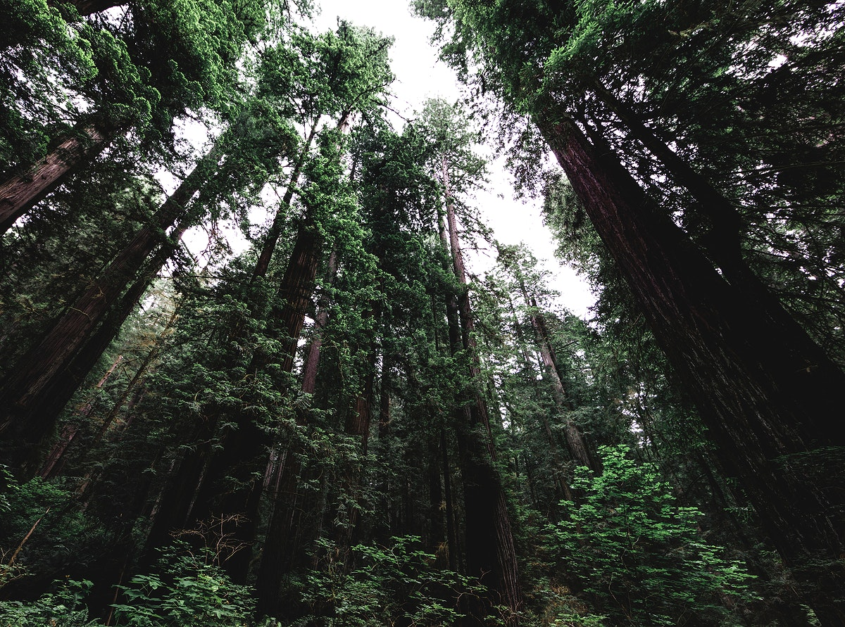 Bottom up view of tall trees at Redwood National and State Parks, United States, Northern California. Original image from…