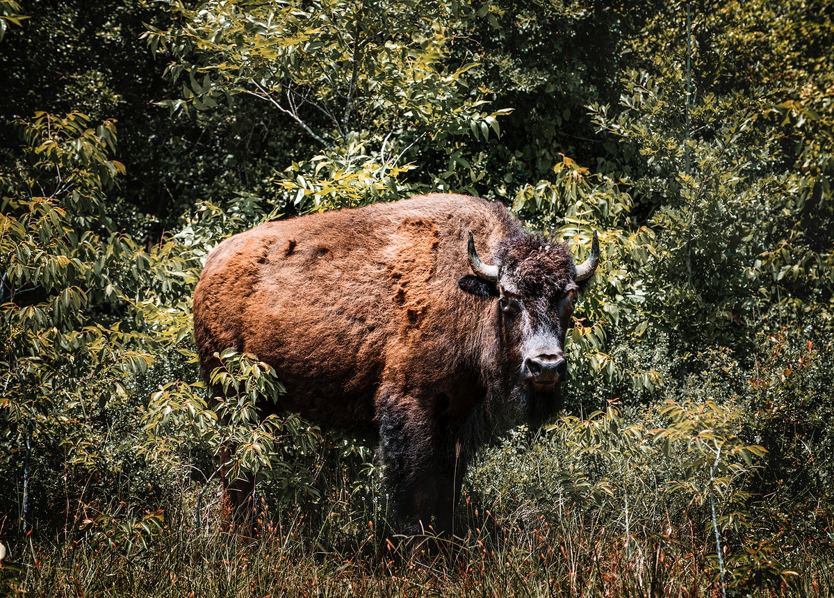 American bison, or buffaloes, in Yellowstone National Park in the northwest corner of Wyoming. Original image from Carol M.…