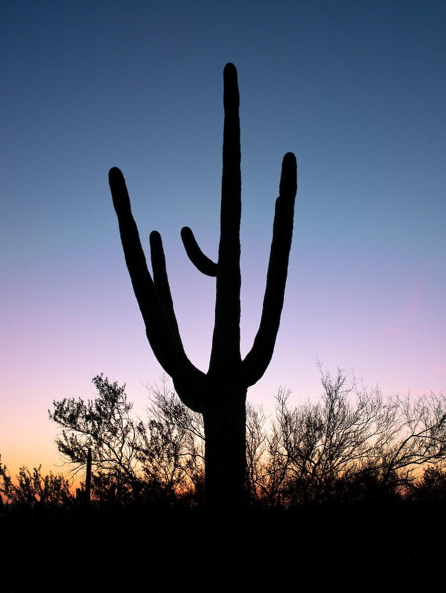 Saguaro Cactus near Tucson in Arizona, USA. Original image from Carol M. Highsmith's America, Library of Congress…