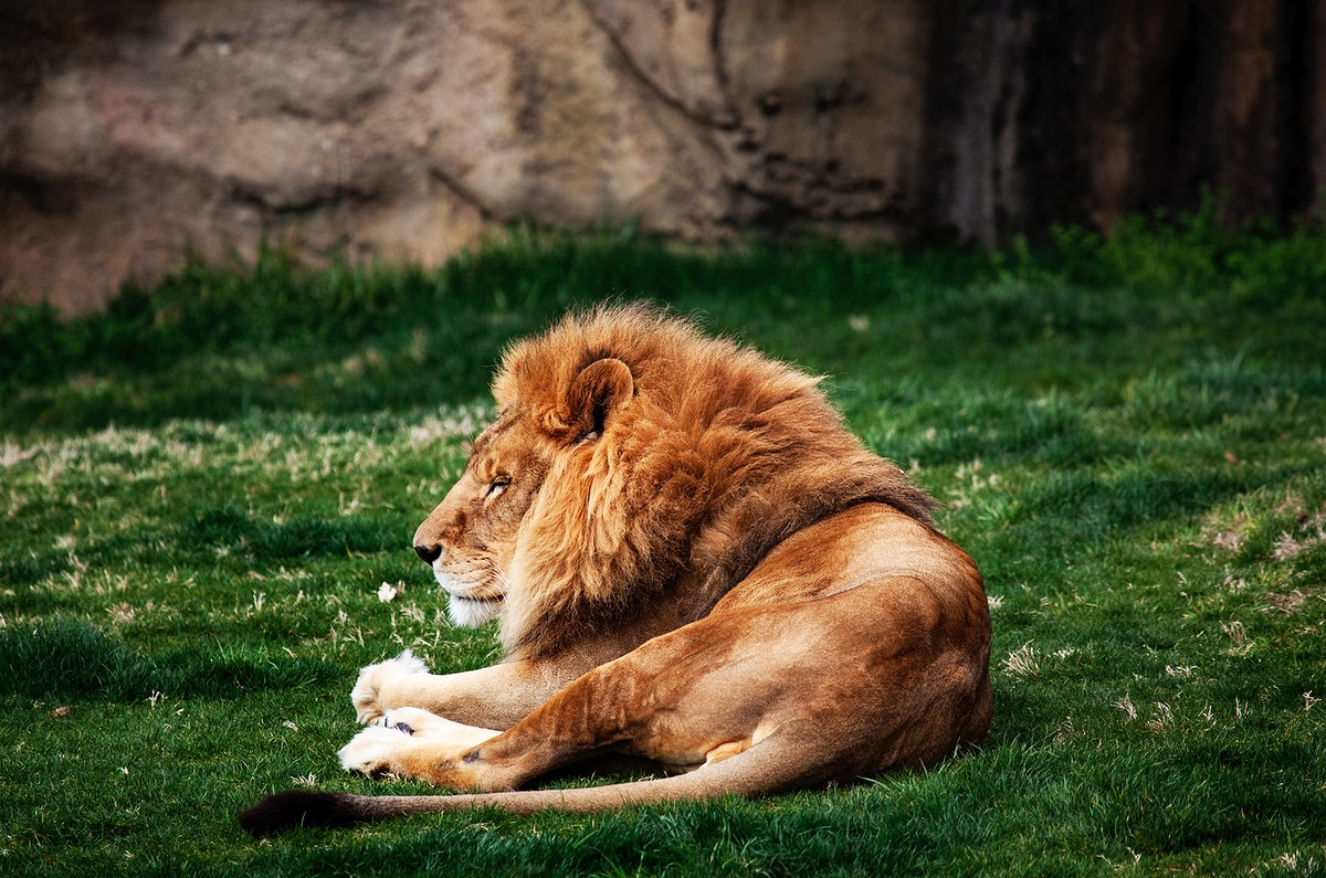Lions at The Montgomery Zoo in Oak Park. Original image from Carol M. Highsmith's America, Library of Congress…