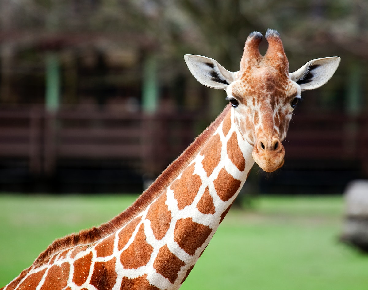 Giraffe at The Montgomery Zoo in Oak Park. Original image from Carol M. Highsmith's America, Library of Congress…