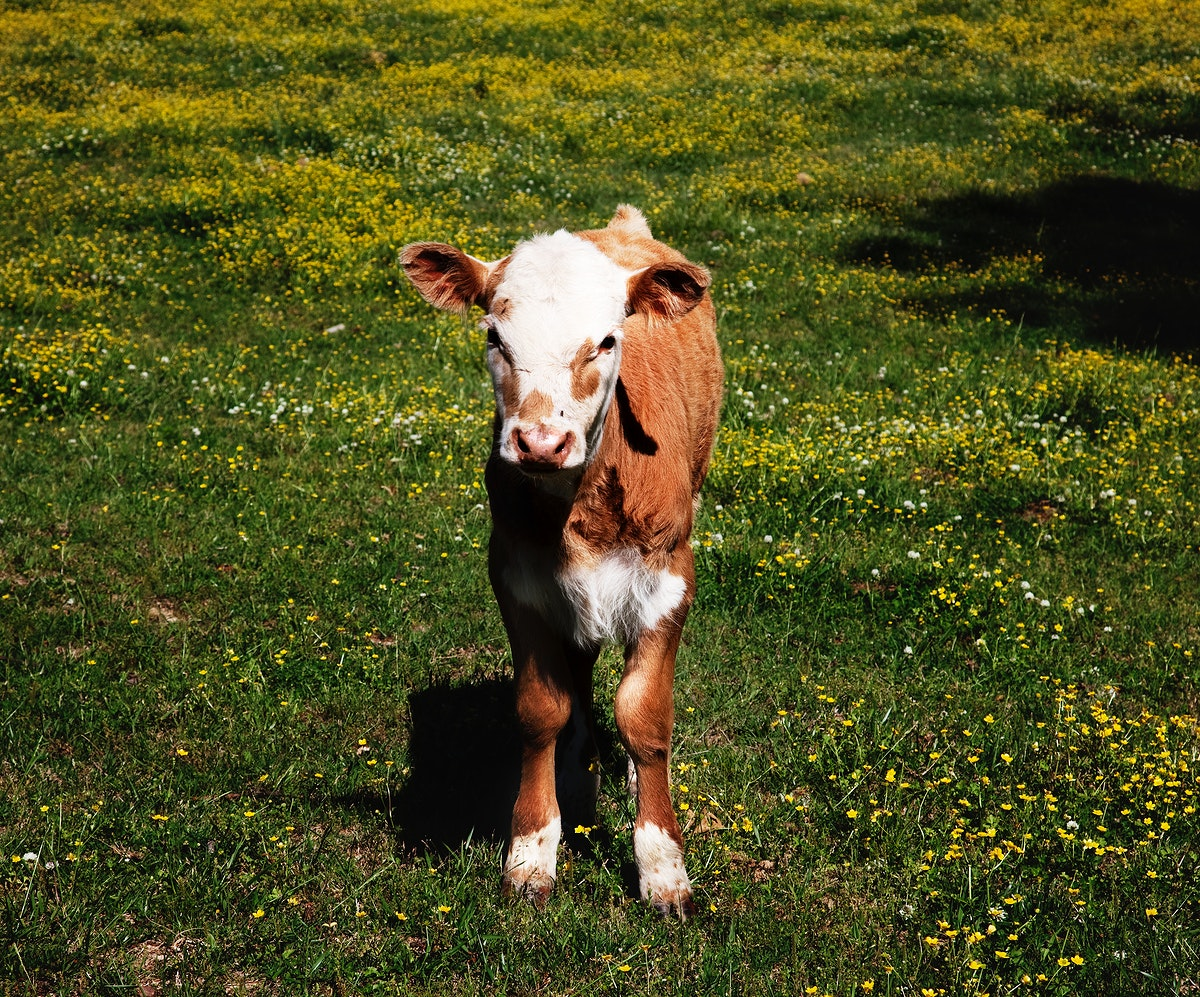 Young calf standing in a field in rural Alabama. Original image from Carol M. Highsmith's America, Library of Congress…