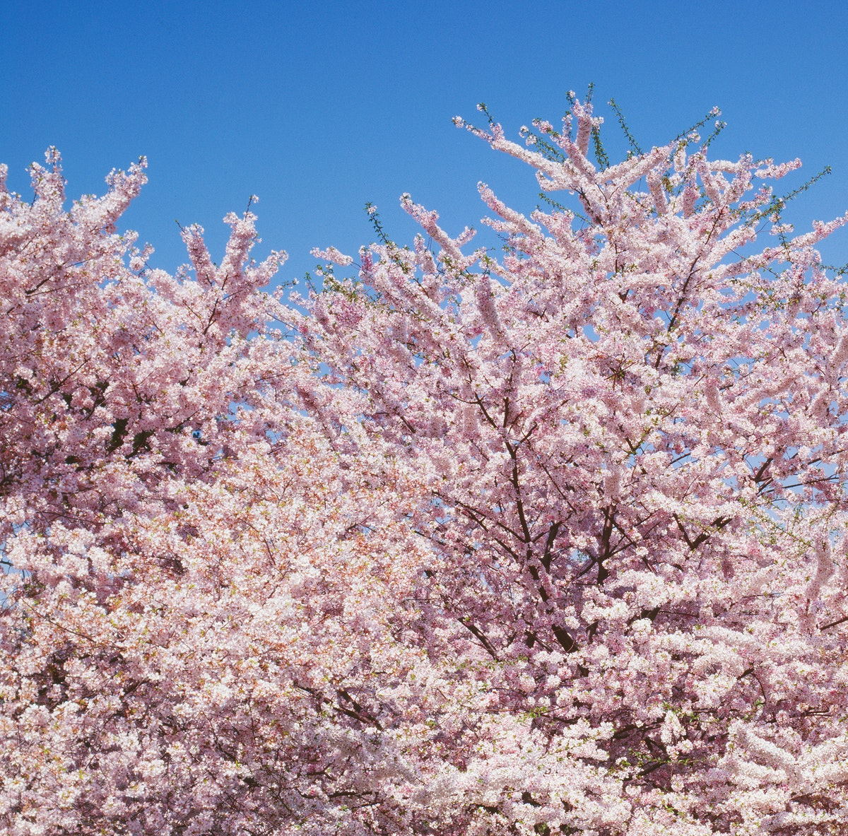 Cherry blossoms in front of the Washington Monument in Washington, D.C. Original image from Carol M. Highsmith's…