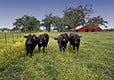 """Cows in Cajun Country Farm. Original image from <a href=""""https://www.rawpixel.com/search/carol%20m.%20highsmith?sort=curated&amp;page=1"""">Carol M. Highsmith</a>&rsquo;s America, Library of Congress collection. Digitally enhanced by rawpixel."""