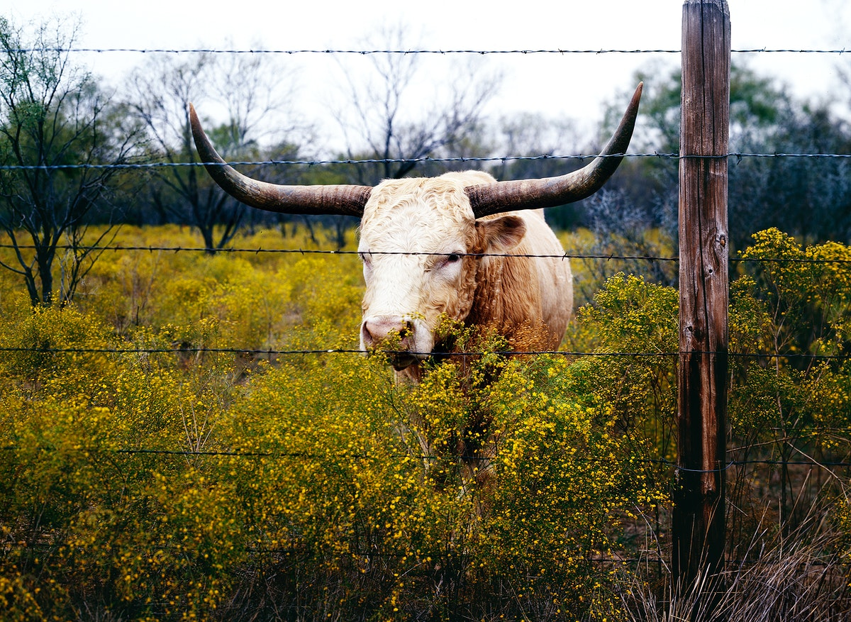 The State of Texas raises longhorn cattle at Abilene State Historical Park on the site of old Fort Griffin. Original image…
