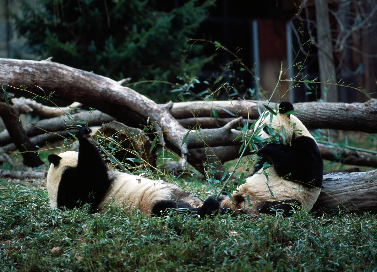 Giant pandas, the star attraction at the Smithsonian Institution's National Zoo. Original image from Carol M.…