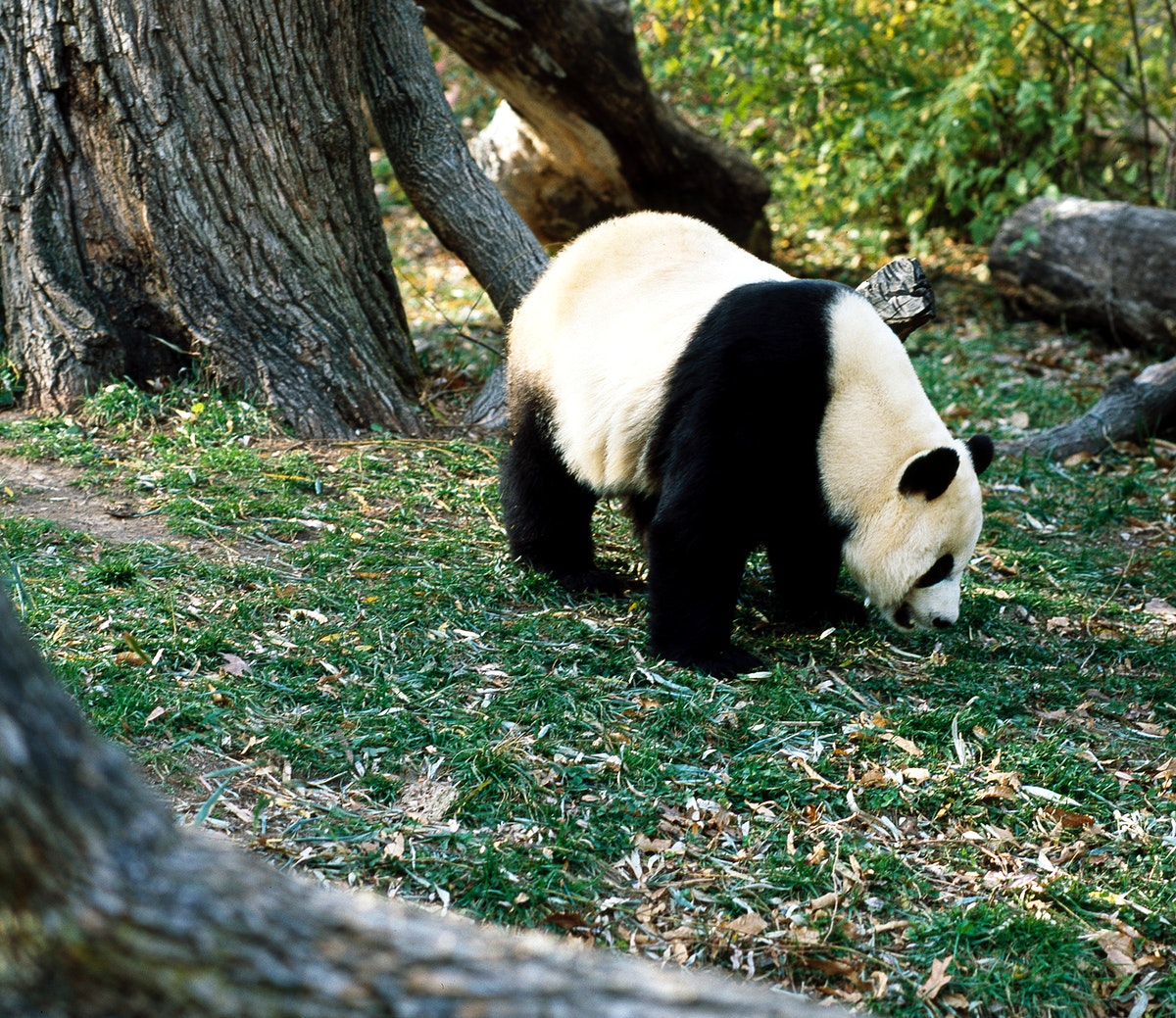 A giant panda, the star attraction at the Smithsonian Institution's National Zoo. Original image from Carol M.…