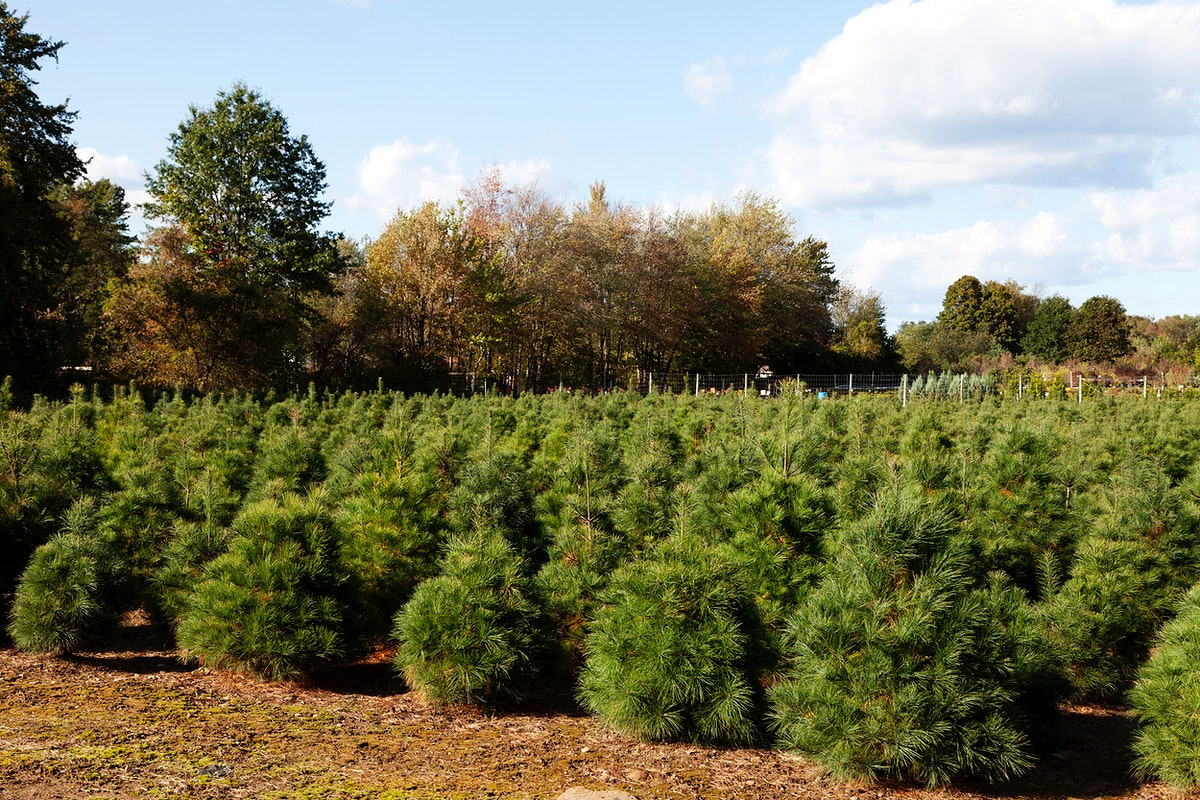 Christmas tree farm located in Suffield, Connecticut. Original image from Carol M. Highsmith's America, Library of…