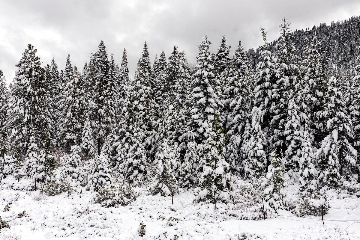 Winter wonderland, created by a sudden mountain blizzard along California Highway 36, south of Lassen Volcanic National Park.