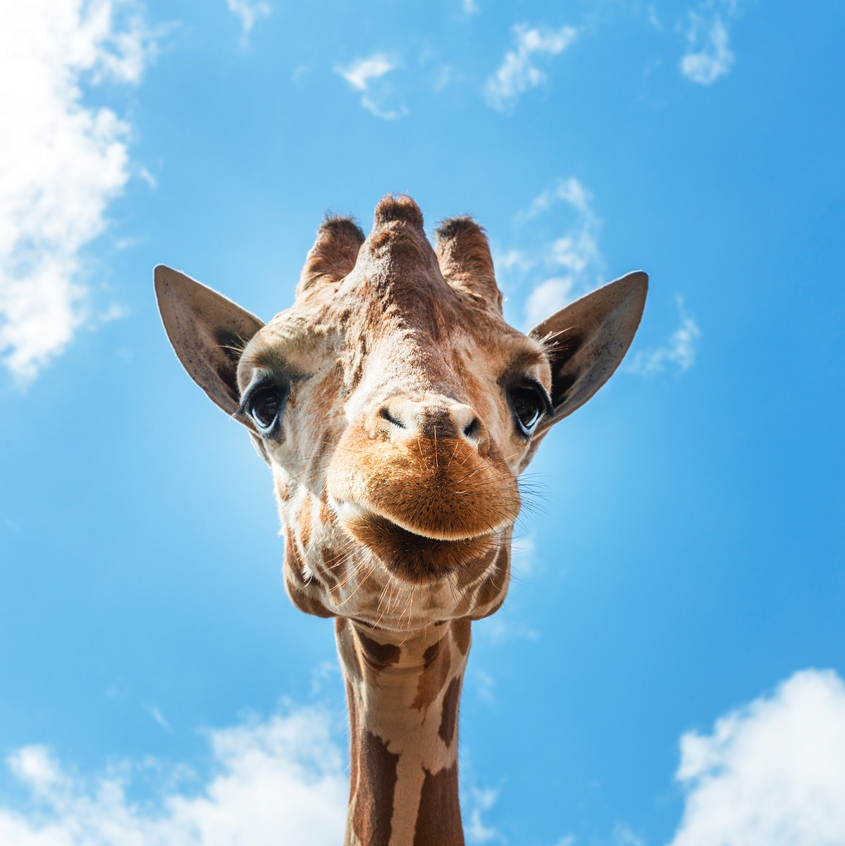 An up-close look at a giraffe at the Gladys Porter Zoo in Brownsville, Texas. Original image from Carol M. Highsmith's…