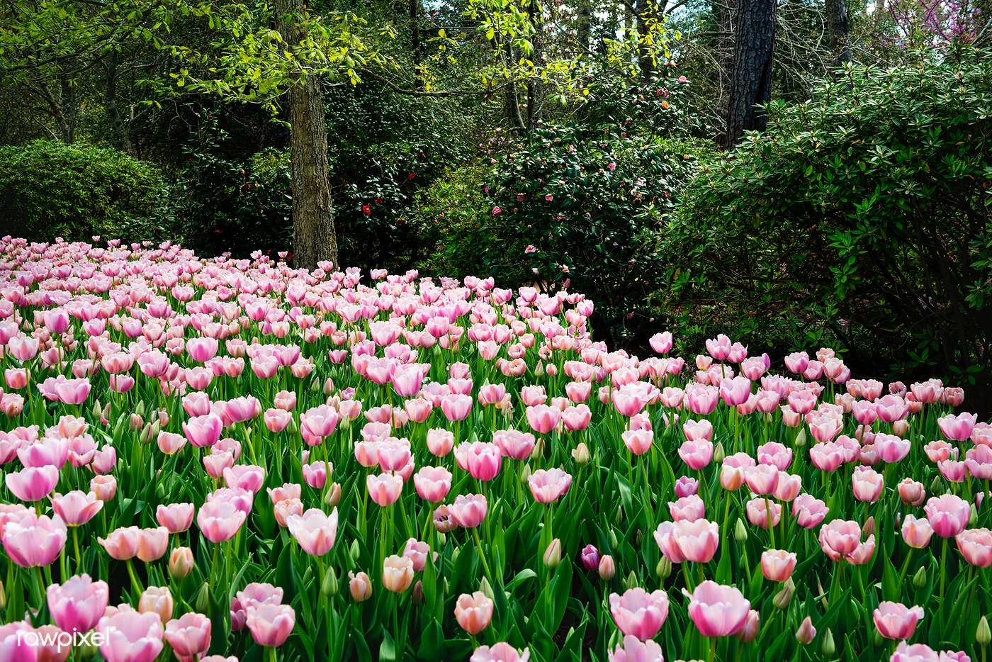Tulips Pop In Late Winter At The Bayou Bend Collection And Gardens