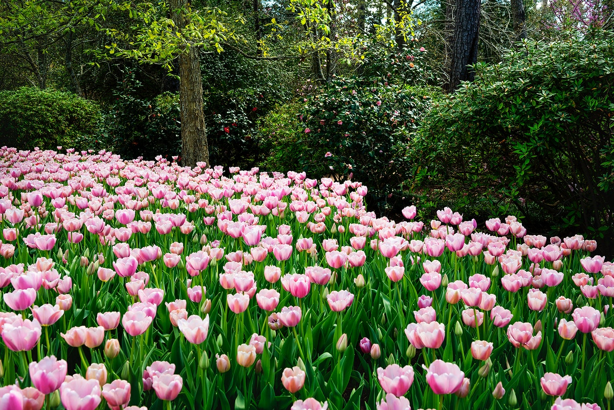 Tulips pop in late winter at the Bayou Bend Collection and Gardens in the River Oaks neighborhood of Houston, Texas. Original…