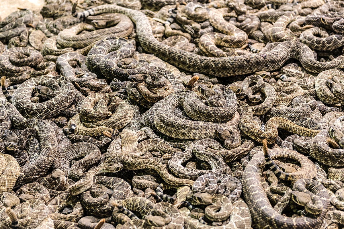 """A literal pit of vipers at the """"World's Largest Rattlesnake Roundup"""" in Sweetwater, Texas. Original image from Carol M.…"""
