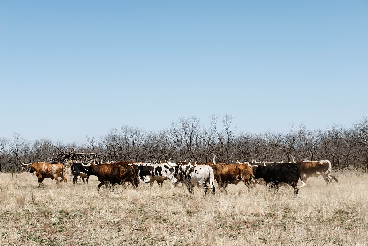 A herd of longhorn cattle grazing near the Fort Griffin town site. Original image from Carol M. Highsmith's America…