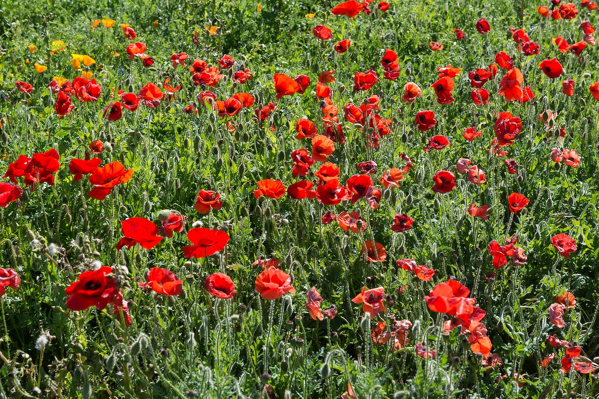 Poppy fields. Original image from Carol M. Highsmith's America, Library of Congress collection. Digitally enhanced by…