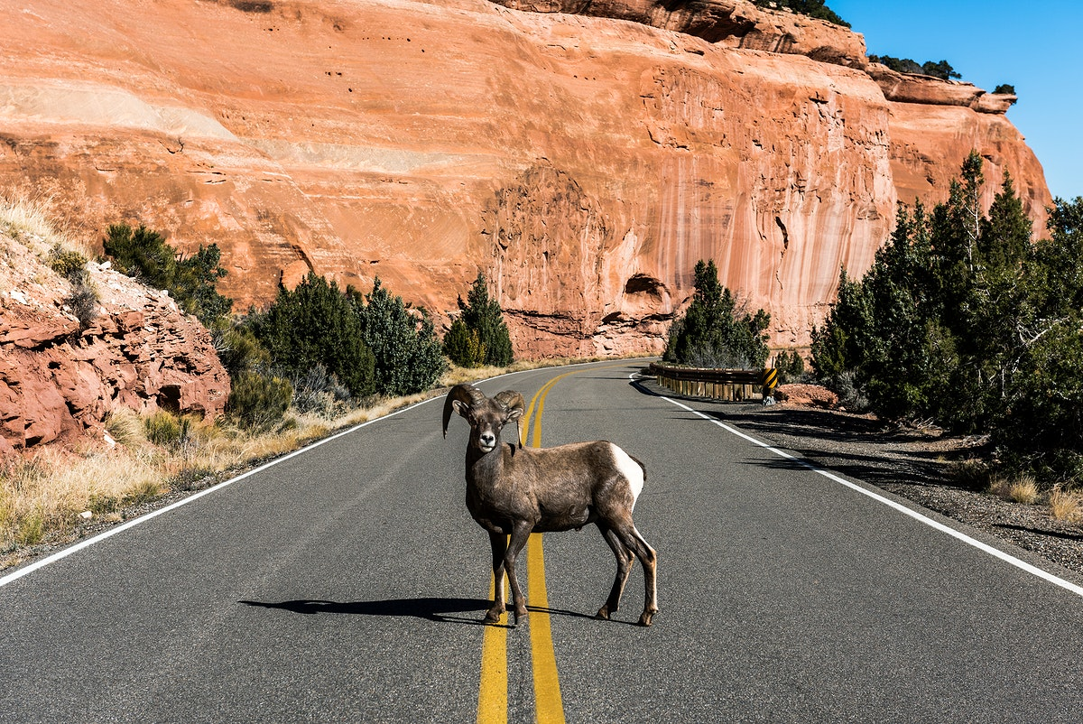 A bighorn sheep in Colorado National Monument, a preserve of vast plateaus, canyons, and towering monoliths in Mesa County…