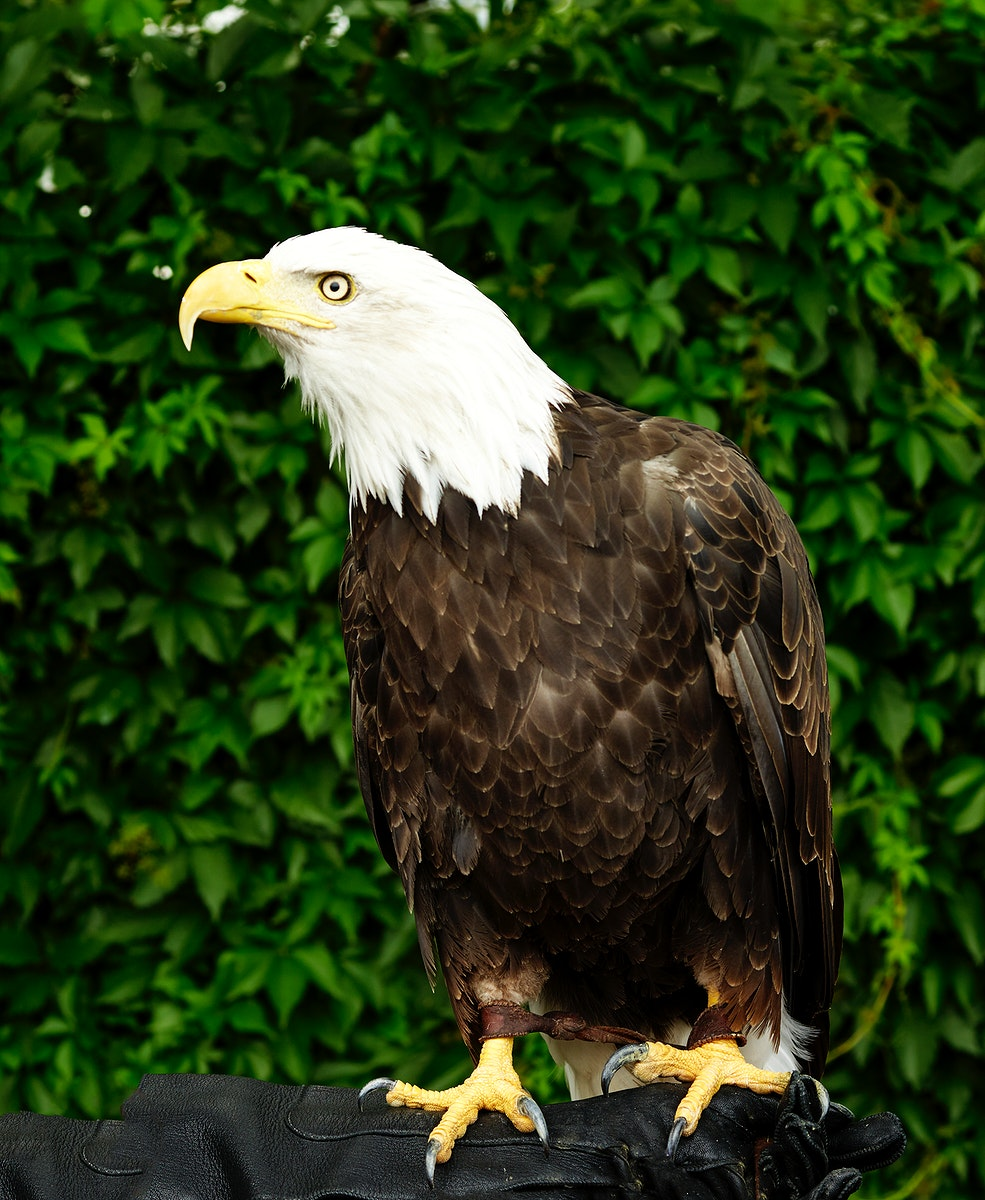 A young bald eagle surveys the world below in the vast Wyoming portion of Yellowstone National Park. Original image from…