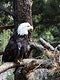 """A bald eagle at the Cheyenne Mountain Zoo in Colorado Springs, Colorado. Original image from <a href=""""https://www.rawpixel.com/search/carol%20m.%20highsmith?sort=curated&amp;page=1"""">Carol M. Highsmith</a>&rsquo;s America, Library of Congress collection. Digitally enhanced by rawpixel."""