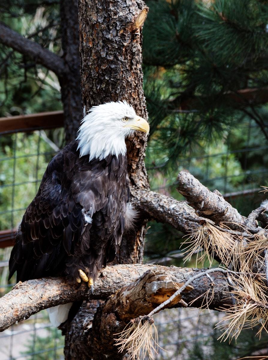 A bald eagle at the Cheyenne Mountain Zoo in Colorado Springs, Colorado. Original image from Carol M. Highsmith's…