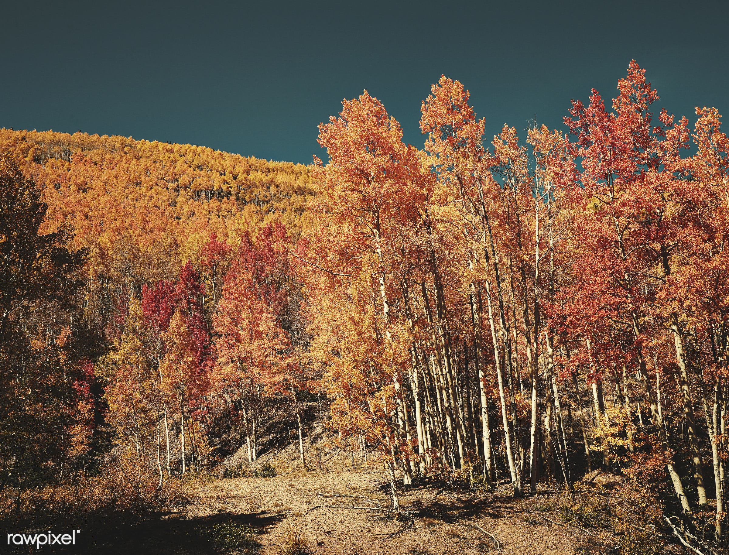 Fall aspens in San Juan County, Colorado USA - Original image from Carol M. Highsmith's America, Library of Congress...