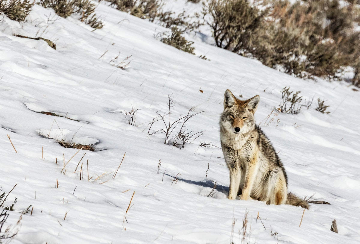 A lone and lean coyote makes the best of wintertime in the northernmost Wyoming reaches of Yellowstone National Park.…