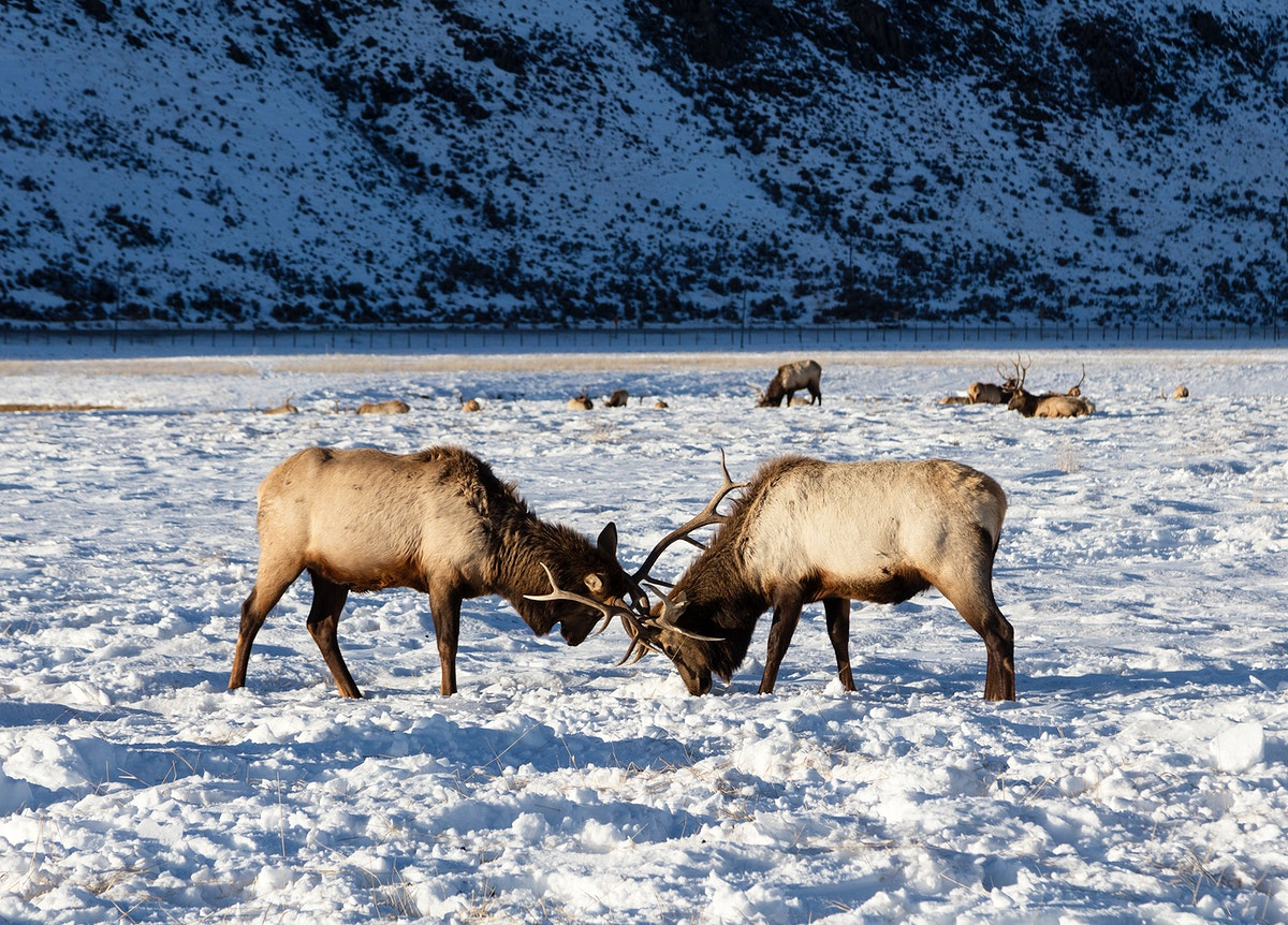 Elk at the U.S. Fish & Wildlife Service's elk refuge in Jackson Hole, Wyoming, a valley on the edge of Grand Teton National…