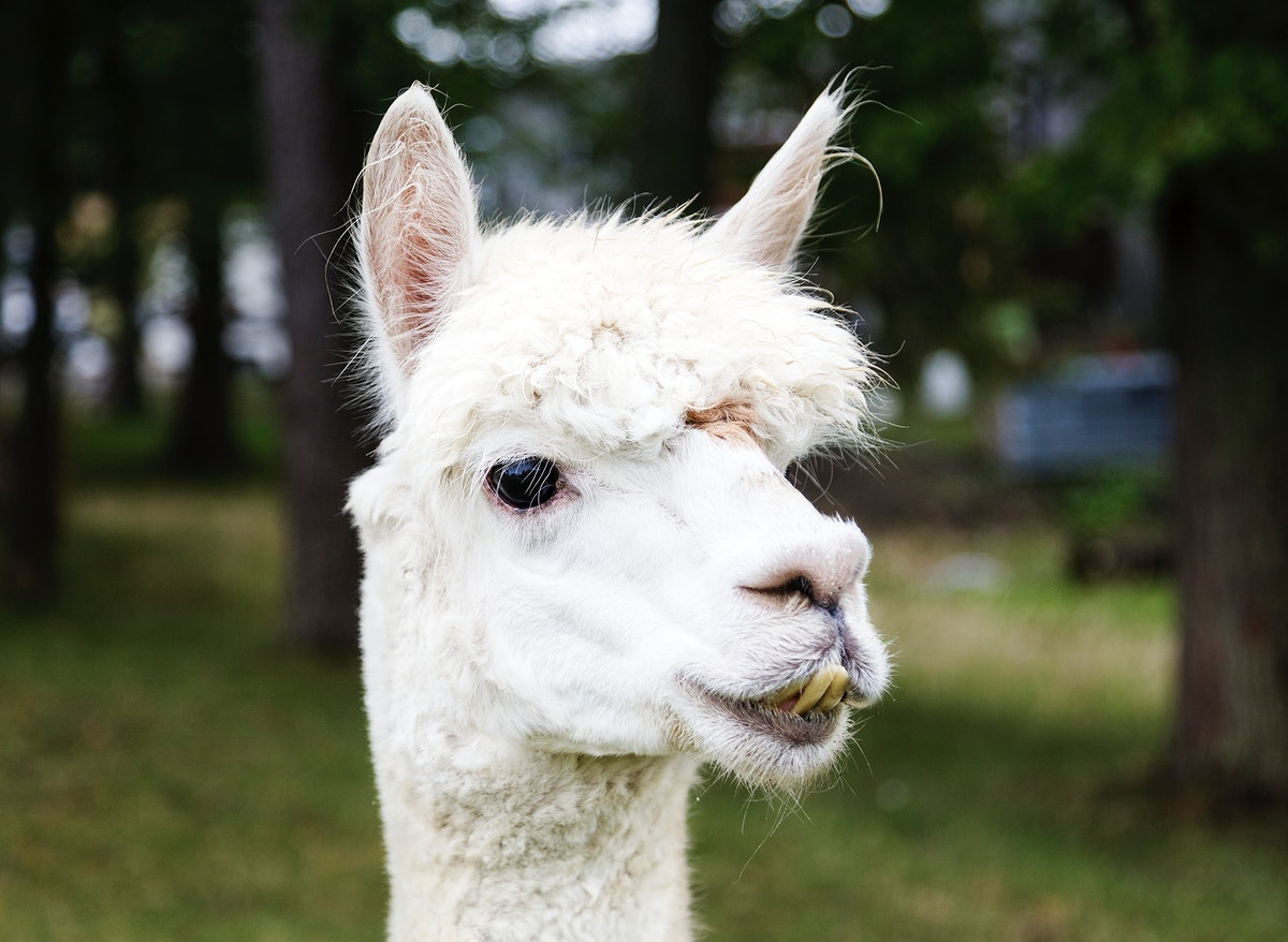 A llama peers at a passerby from its copse on a farm near Plato in LaGrange County, Indiana. Original image from Carol M.…