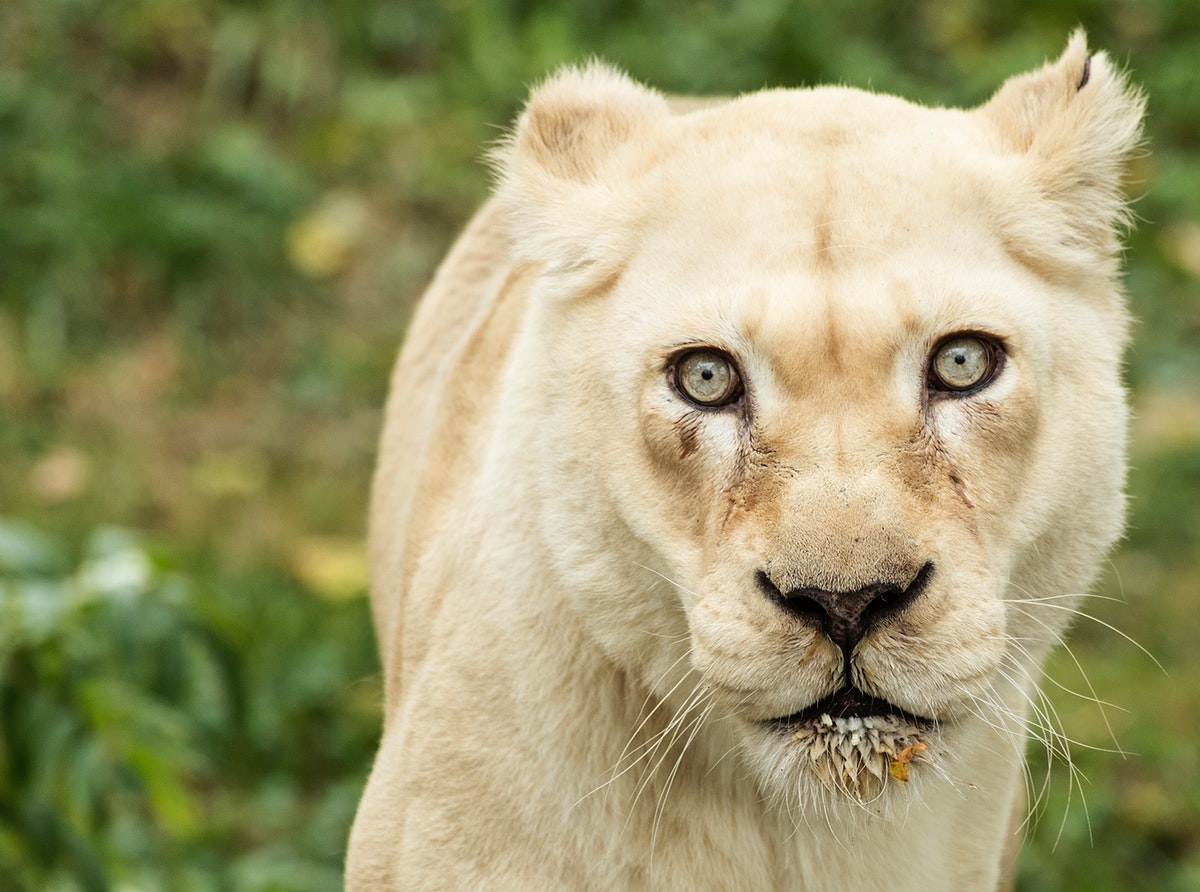 A lioness, one of the prized animals at the Cincinnati Zoo and Botanical Garden. Original image from Carol M.…