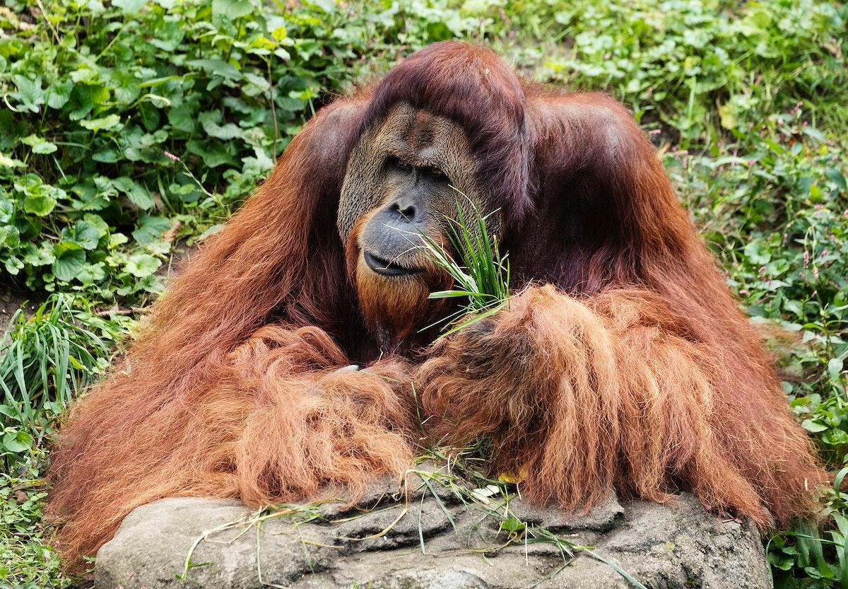 Orangutan at the Cincinnati Zoo and Botanical Garden. Original image from Carol M. Highsmith's America, Library of…