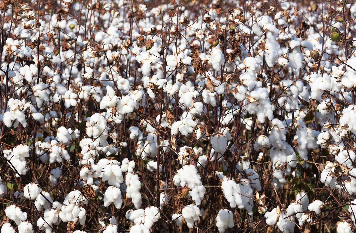 Cotton field in rural Tunica County, Mississippi. Original image from Carol M. Highsmith's America, Library of Congress…
