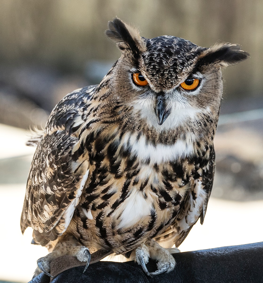 An owl at the Alligator Adventure in South Carolina. Original image from Carol M. Highsmith's America, Library of…