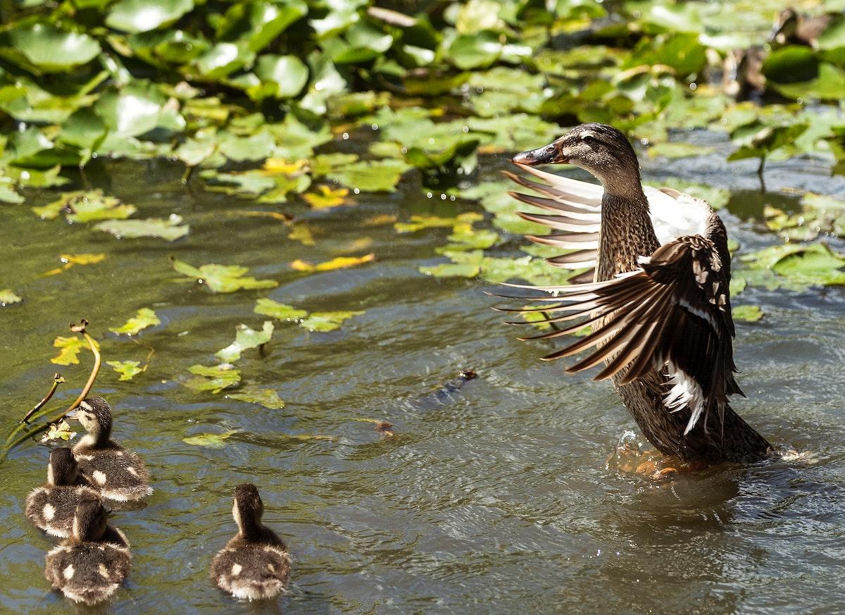 Ducks at the Alligator Adventure in South Carolina.Original image from Carol M. Highsmith's America, Library of…