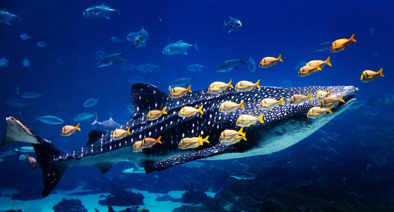 Whale Shark at Georgia Aquarium in Atlanta. Original image ...