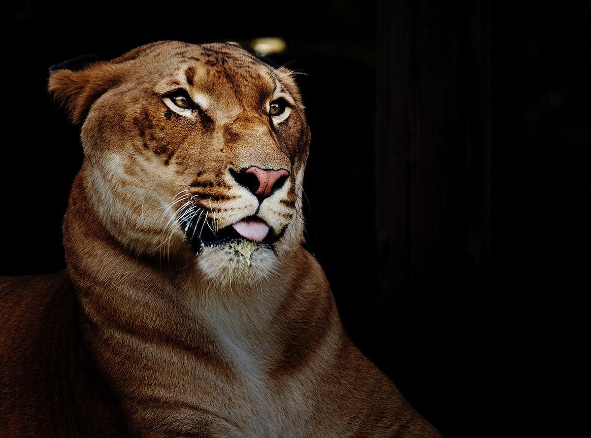 Hercules the liger, half lion, half tiger. Original image from Carol M. Highsmith's America, Library of Congress…