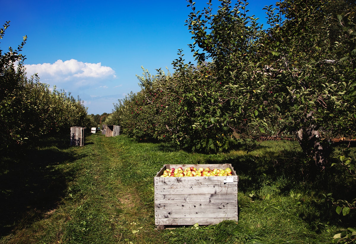 Scene at fall apple-harvest time at Shelburne Orchards in Shelburne, Vermont. Original image from Carol M. Highsmith's…