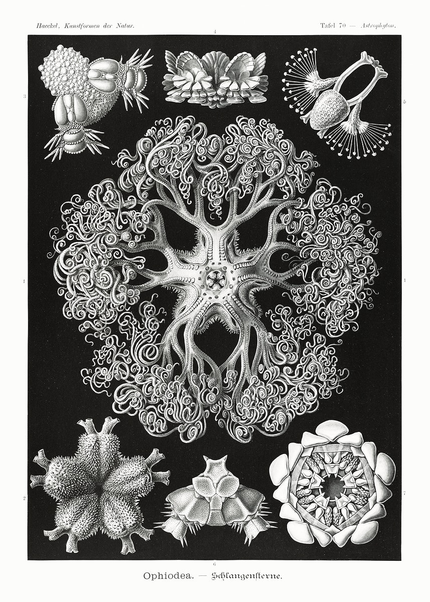 Ophiodea–Schlangensterne from Kunstformen der Natur (1904) by Ernst Haeckel. Original from Library of Congress.…