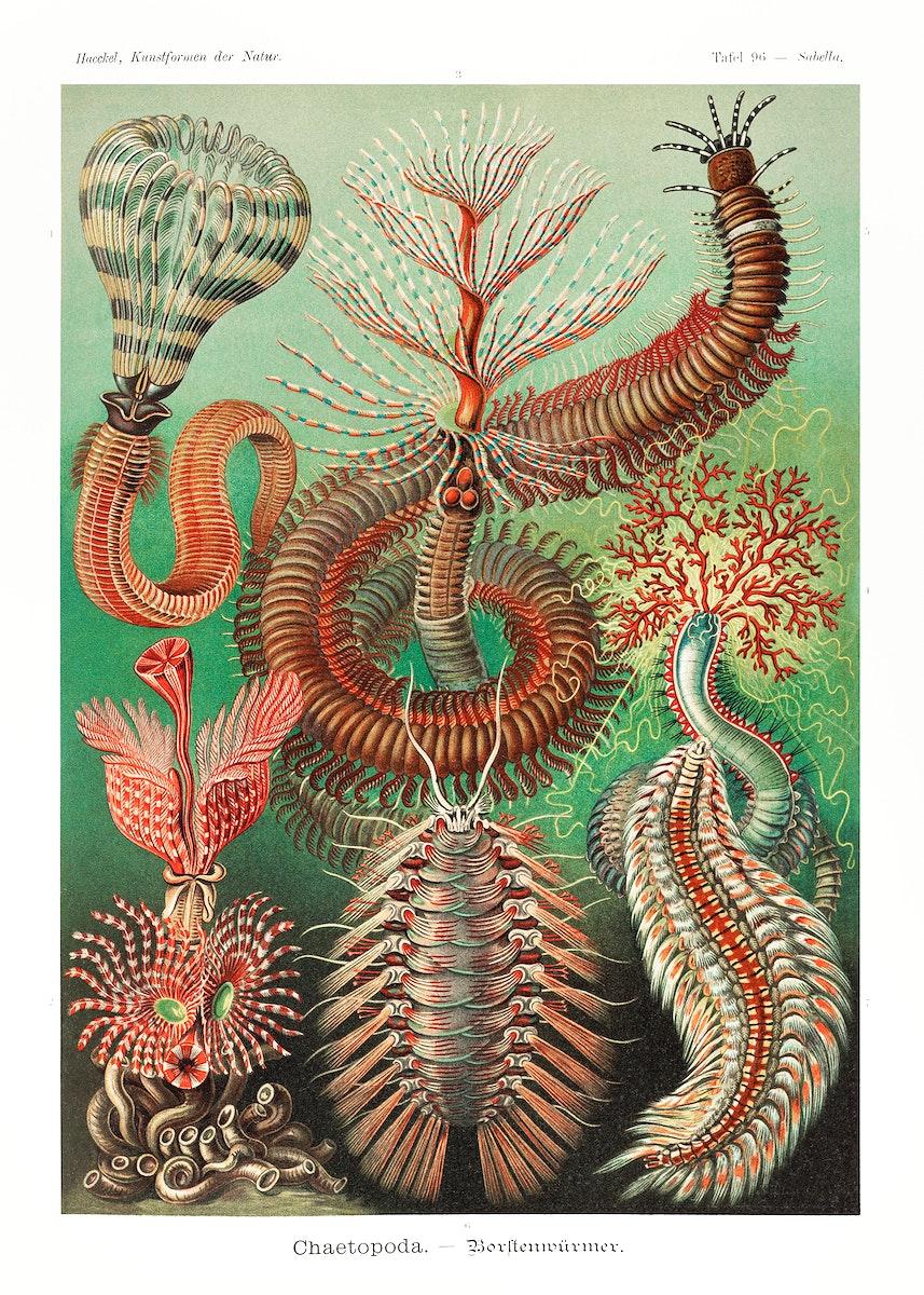 Chaetopoda–Borstenwürmer from Kunstformen der Natur (1904) by Ernst Haeckel. Original from Library of Congress.…