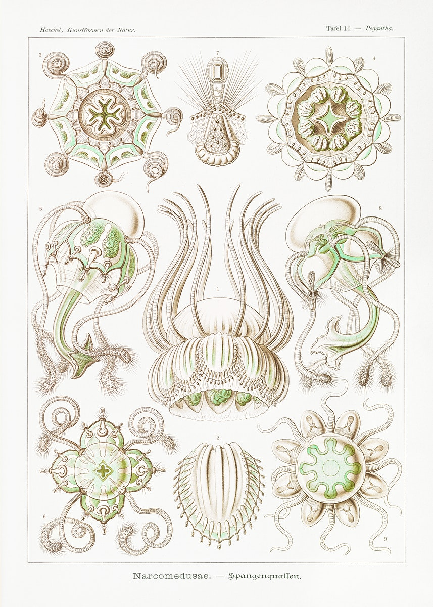 Narcomedusae–Spangenquallen from Kunstformen der Natur (1904) by Ernst Haeckel. Original from Library of Congress.…